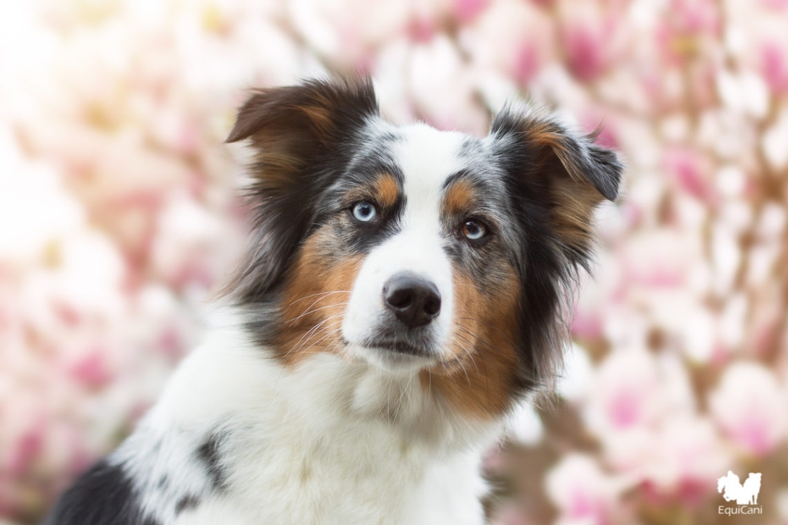 Blue merle Australian Shepherd - Portraitlinse Canon 50mm
