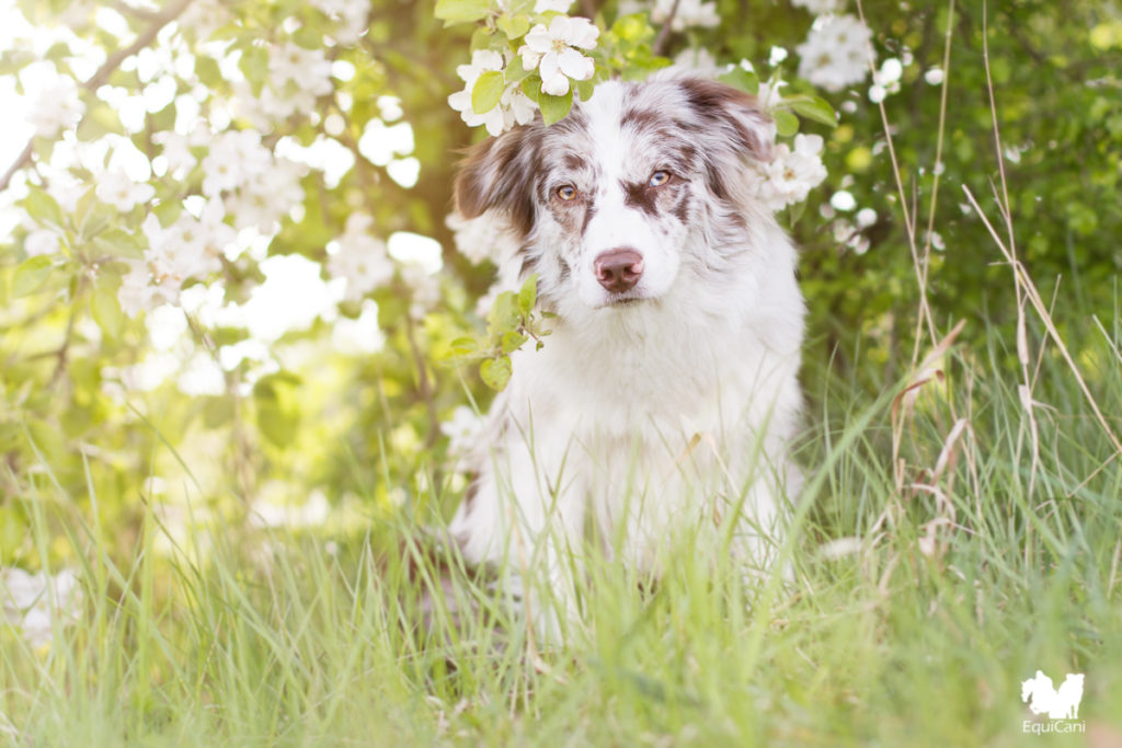 Red merle Australian Shepherd - Portraitlinse Canon 50mm